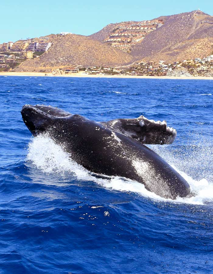 Cabo Whale Watching - Sailing Tour