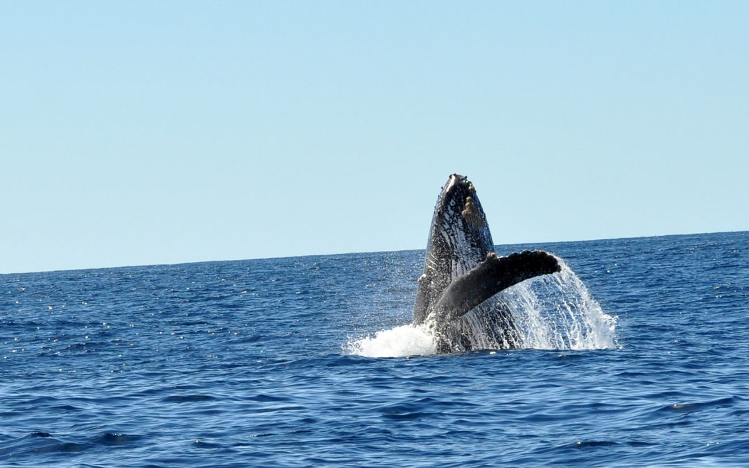 Cabo whale watching basics: Time to visit a well known place for whale watching